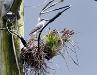 Grey Kingbird Feeding Chicks, Pitirre Alimentando Cría