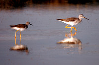 Comparison:  Greater and Lesser Yellowlegs, Playeros Guineilla Mayor y Menor