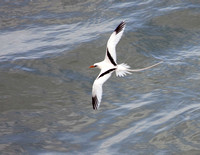 White-tailed Tropicbird, Chirre