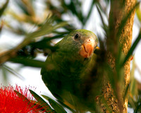 White-winged Parakeet, Perico Aliblanco