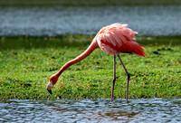Greater Flamingo, Flamenco Mayor