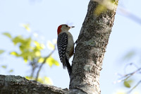 Red-belied Woodpecker