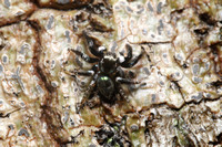 Jumping Spider, green backed