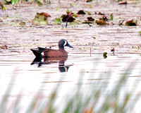 Blue-winged Teal, Pato Zarcel