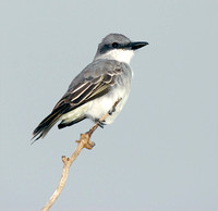 Gray Kingbird, Pitirre