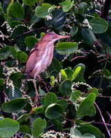 Least Bittern, Martinetito