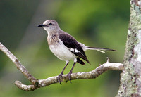 Northern Mockingbird, Ruiseñor