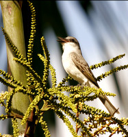 Grey Kingbird, Pitirre