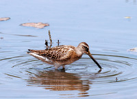 Short-billed Dowitcher, Agujeta Piquicorta