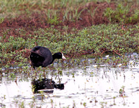 American Coot, Gallinazo