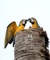 Blue and Yellow Macaw, Guacamayo Azul y Amarillo