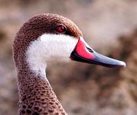 White-cheecked Pintail, Pato Quijada Colorada