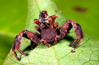 Male and Female Bark Crab Spider