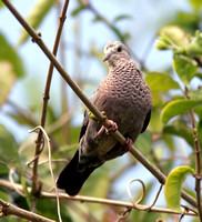 Common Ground Dove, Rolita