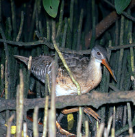 Clapper Rail, Pollo de Mangle
