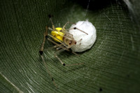 Theridion ricense