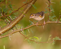 Grasshopper Sparrow, Gorrión Chicharra