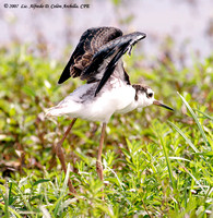 Black-necked Stilt, Viuda