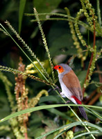 Orange-cheeked Waxbills, Veteranos