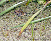 Yellow-breasted Crake, Polluela Pechiamarilla