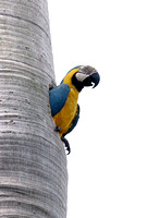 Blue-and-Yellow Macaw, Guacamayo
