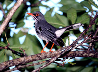 Red-legged Thrush, Zorzal de Patas Coloradas