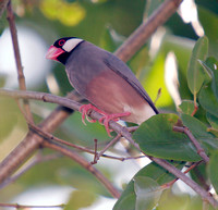 Java Sparrow, Gorrión de Java