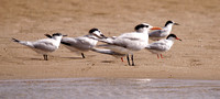 Sandwich Terns, Common Terns and Royal Tern