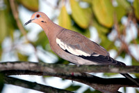 White-winged Dove, Tórtola Aliblanca