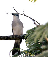 Grey Kingibird, Pitirre