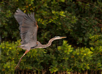 Great Blue Heron, Garzón Cenizo