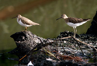 Compare Spotted and Solitary Sandpipers, Coleador y Solitario