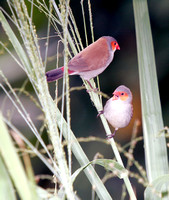Orange-cheecked Waxbill, Veterano