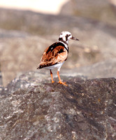 Ruddy Turnstone, Playero Turco