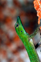 Puerto Rican Emerald Anole