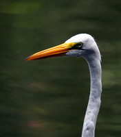 Great Egret, Garza Real