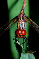 All Dragonflies and Damselflies