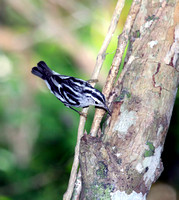 Black-and-White Warbler, Reinita Trepadora