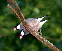 Java Sparrows, Gorriónes de Java