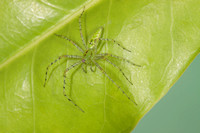 Greeen Lynx Spider