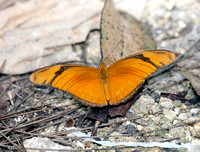 Julia, (nominate race, Dryas iulia iulia)