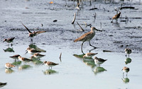 Short-billed Dowitcher, Ajujeta Piquicorta