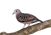 Common Ground-Dove, Tortolita