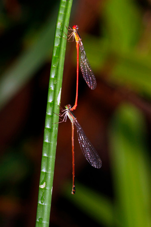Damselflies Mating, West Indian Firetail