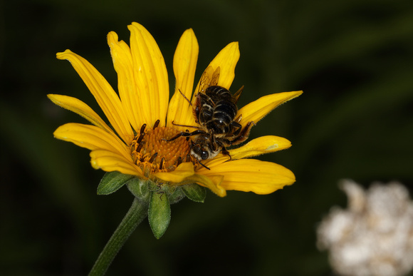 Bees Fighting