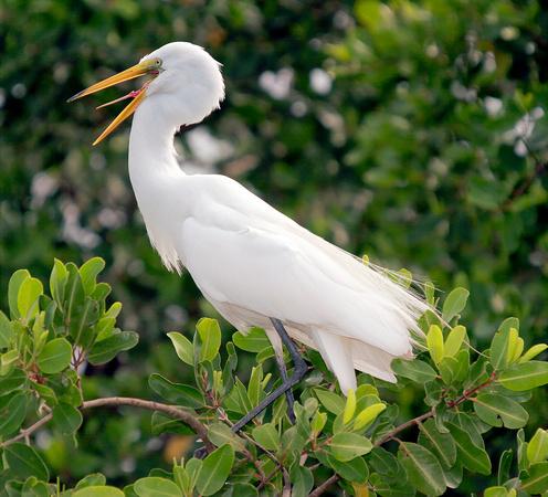 All About Birds Great Egret >> Puerto Rico Wildlife Alfredo Colon A All Birds Of Puerto Rico