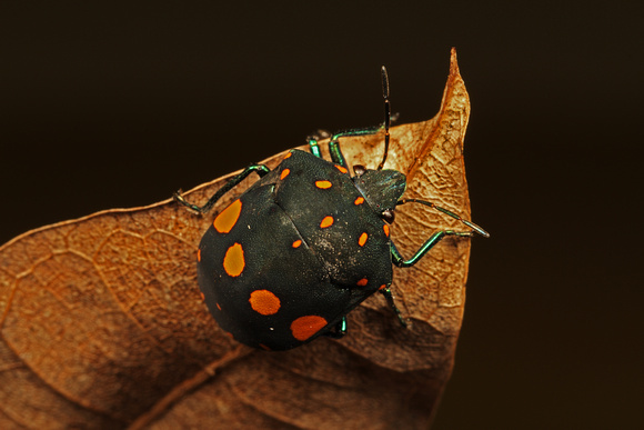Scutellerid Jewel Bug