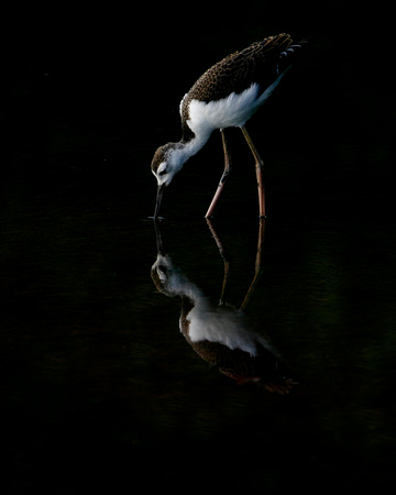 Black-necked Stilt Juv., Viuda.