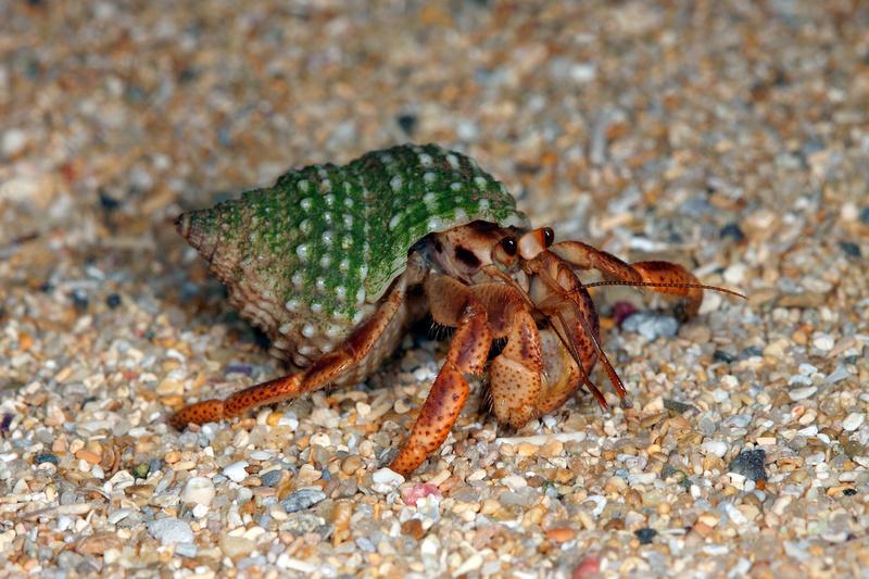 Puerto Rico Wildlife: Alfredo Colón | Crabs