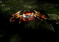 Salt water Crab